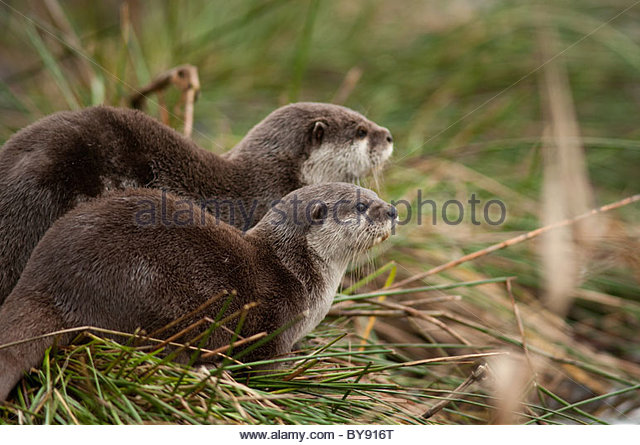 Pair of Otters on reeds looking out to the right - Stock Image