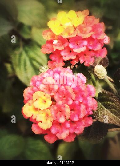 Red yellow lantana flowers - Stock Image