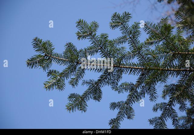 Silver fir - Stock Image