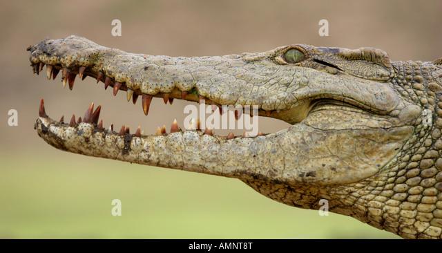 alligator asian singles The latest tweets from se og hØr (@seoghoerdk): oscar-skandale forkert vinder udråbt for #bestpicture #stakkelslalaland #tillykkemoonlight.