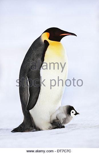Emperor penguin with chick on feet Aptenodytes forsteri Weddell Sea Antarctica Weddell Sea Antarctica - Stock Image