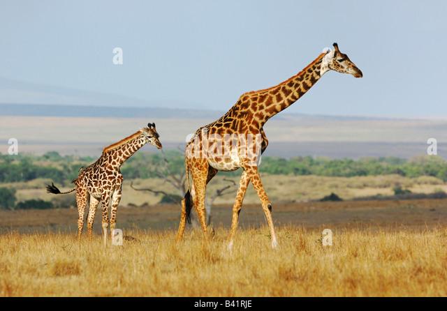 Masai Giraffe Giraffa camelopardalis tippelskirchi female with young Masai Mara Kenya Africa - Stock Image