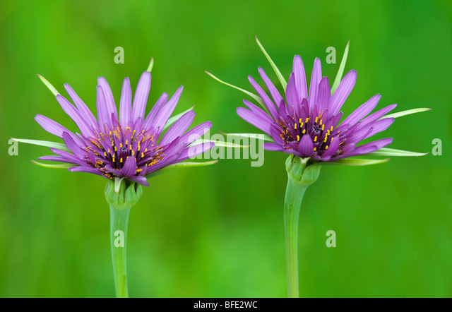 Purple salsify (Tragopogon porrifolius) at Mount Tolmie Park, Saanich, British Columbia, Canada - Stock Image