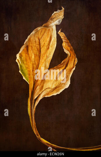 Hosta Leaves with textured background - Stock Image