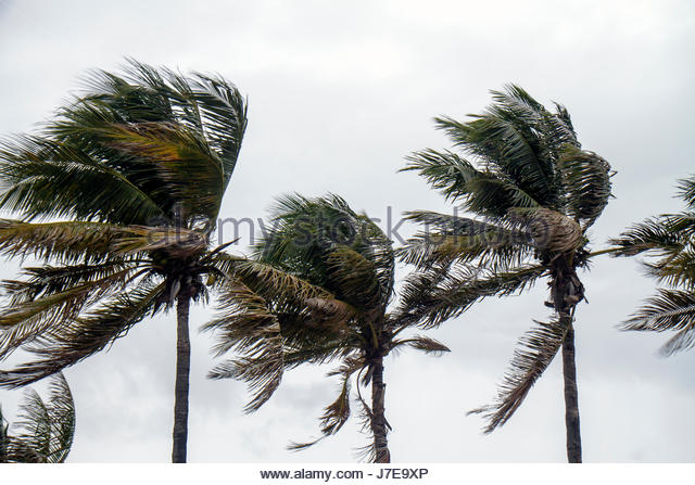 Miami Beach Florida palm trees windblown blowing in wind tropical storm hurricane high winds - Stock Image