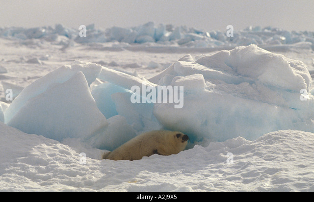 Canada harp seal pup known as whitecoat - Stock Image