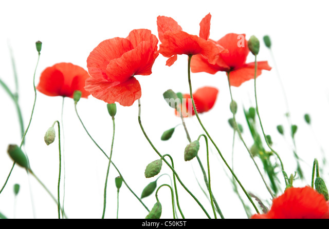 Tender poppy flowers on a white background. - Stock Image