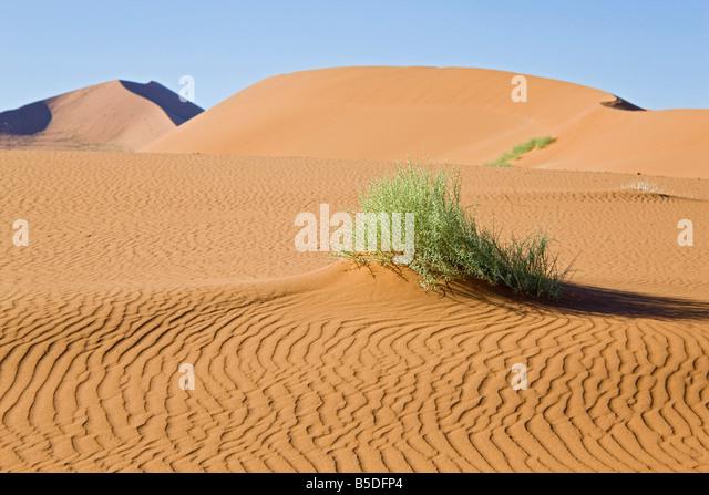 Africa, Namibia, Nara-shrub in the Namib desert - Stock Image
