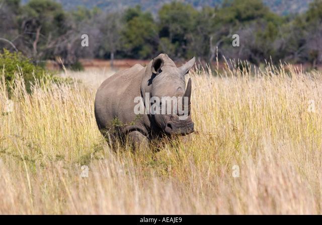 White Rhinoceros - Stock Image