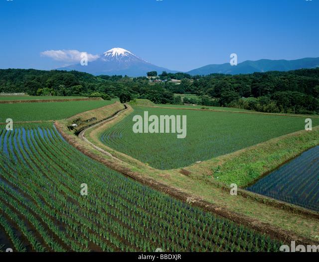 Mt.Fuji And Rice Field - Stock Image