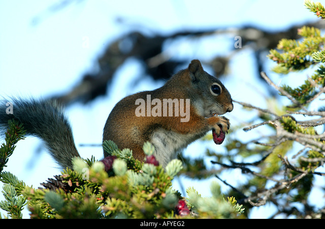Squirrel feeding in a spruce tree in an area called the Barrenlands in the Northwest territories of Canada - Stock Image