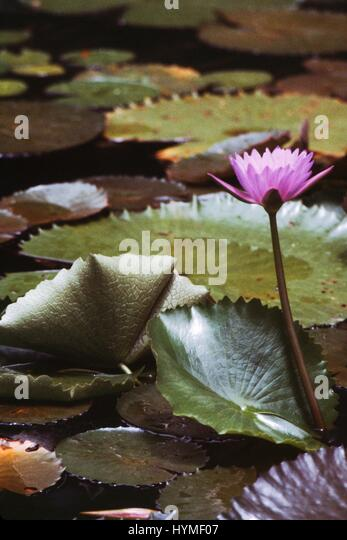 Purple flower among lily pads in Fairchild Garden, Miami, Florida, 1985. - Stock Image