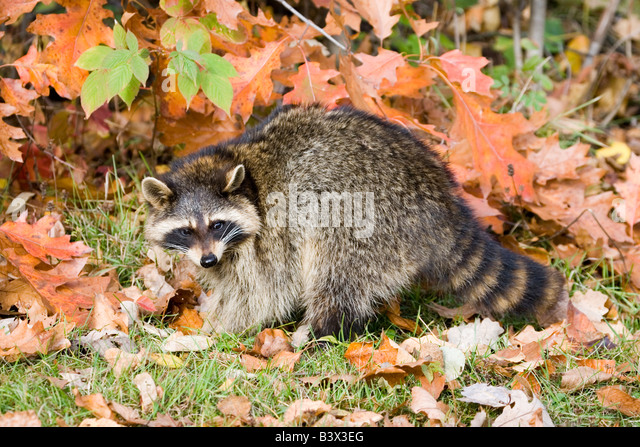 Northern Raccoon Procyon lotor - Stock Image