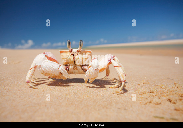 Ghost crab of the genus Ocypode on the golden sands of the Bazaruto Archipelago of the coast of Vilanculos Mozambique - Stock Image