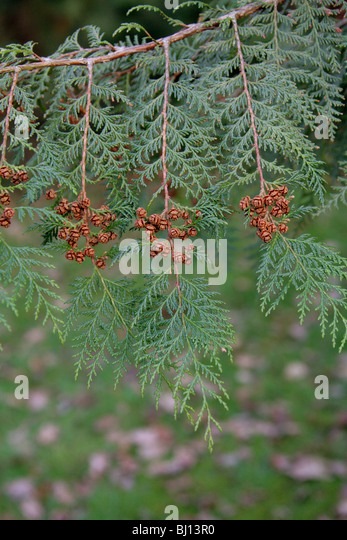 Formosan Cypress, Formosan False Cypress, Chamaecyparis formosensis, Cupressaceae, Taiwan, Asia. Endangered species. - Stock Image