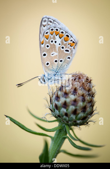 Common Blue butterfly - Stock Image