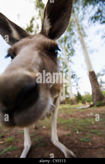 Up close with a grey kangaroo (Macropus giganteus). Brisbane, Queensland, Australia - Stock Image