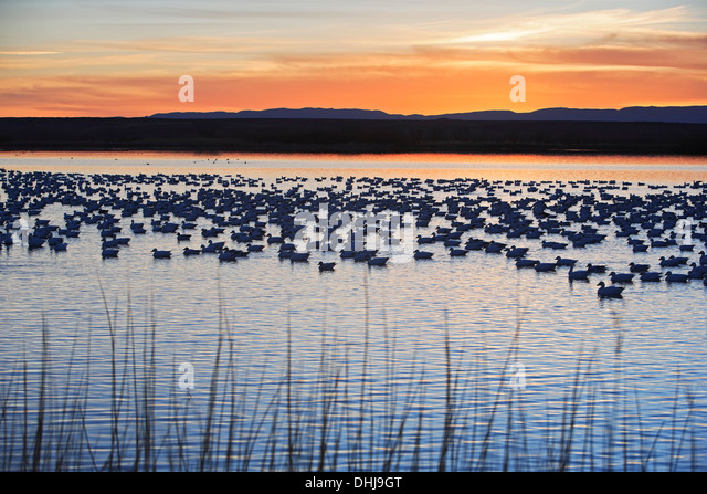 Grasses, snow geese (Chen caerulescens) in pond, and mountains, Bosque del Apache National Wildlife Refuge, New - Stock Image
