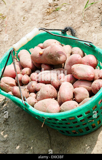 Basket with harvested red skin potatoes. - Stock Image