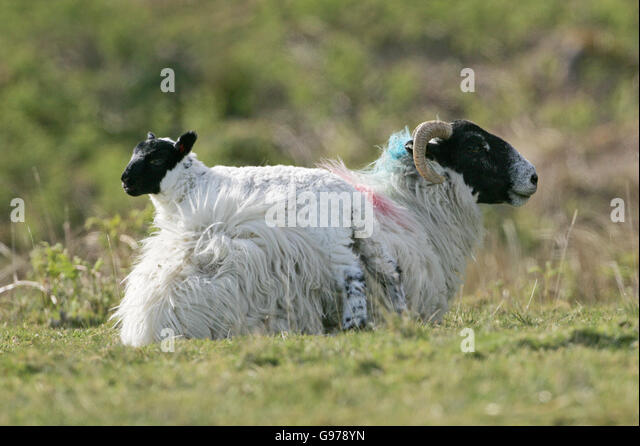 scottish blackface sheep stock photos amp scottish blackface