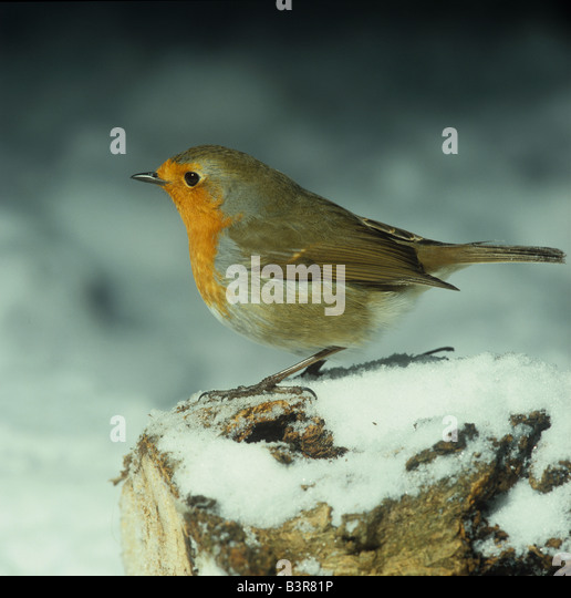 Adult robin on a snow covered log in the garden - Stock Image