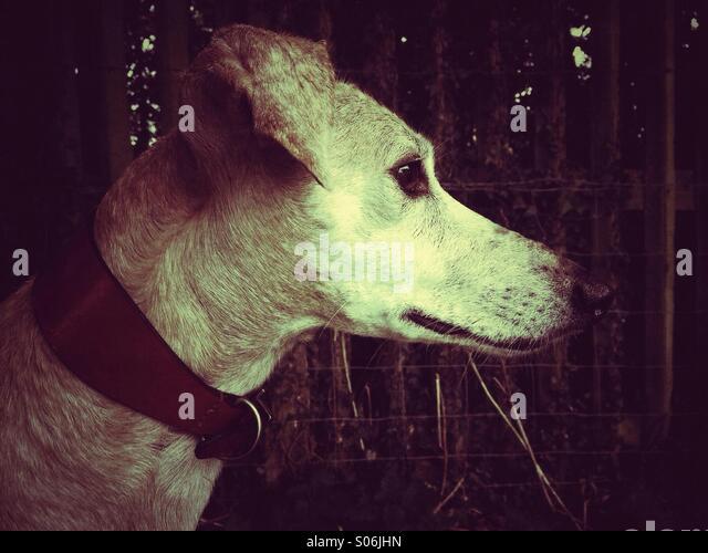 Side profile of lurcher in sepia - Stock Image