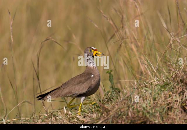 bird Uganda - Stock Image