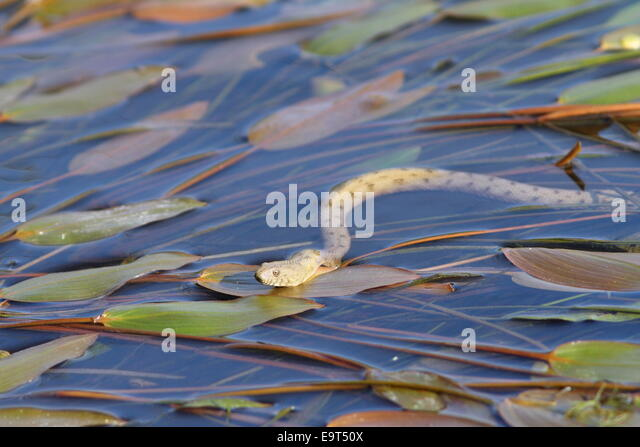 dice snake ( Natrix tessellata ) swimming on water surface, ready to hunt - Stock Image