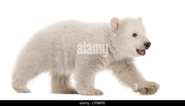 Polar bear cub,  Ursus maritimus, 3 months old, walking against white background - Stock Image