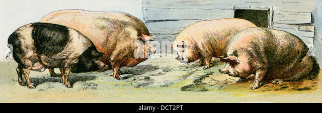 Domesticated pigs, 19th century. - Stock-Bilder