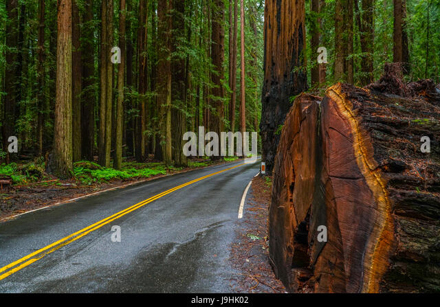 the-giant-red-cedar-trees-at-redwoods-na