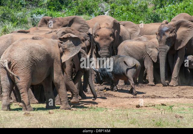 Fearless buffalo (Syncerus caffer) walking through a group of elephants (Loxodonta africana), Addo Elephant Park, - Stock Image