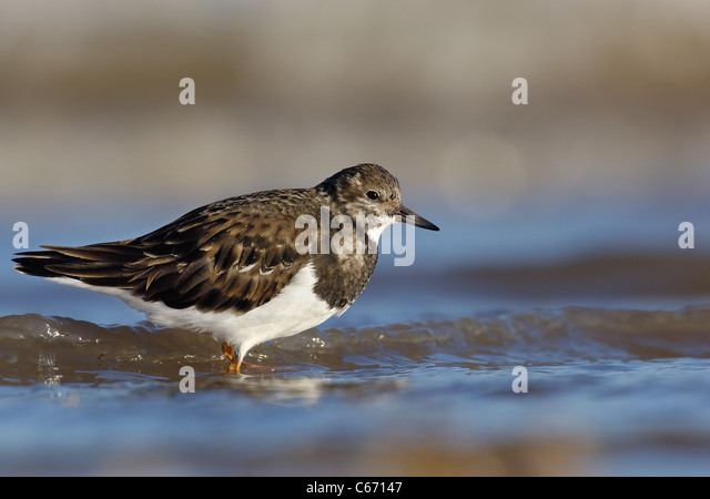 TURNSTONE Arenaria interpres An adult in profile in coastal shallows. January. Lincolnshire, UK Photographer.Andrew - Stock-Bilder