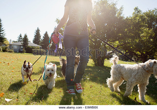 Woman walking dogs in sunny park - Stock-Bilder