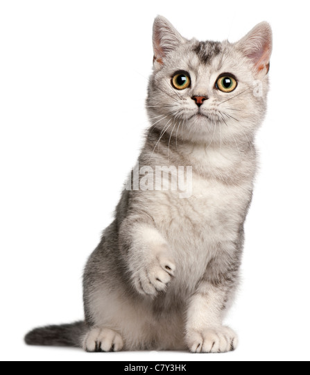 British Shorthair kitten, 4 months old, sitting in front of white background - Stock Image