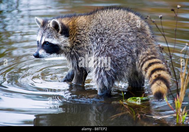 Raccoon in Water, Minnesota - Stock Image
