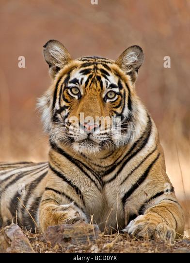 Bengal Tiger (Panthera tigris tigris) female by temple. Ranthambore. India - Stock-Bilder