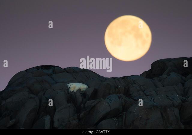 Polar bear (Ursus maritimus) stranded on island, with full moon above, north of Nordaustlandet, Svalbard, Norway, - Stock Image