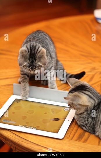 Tabby kittens  play with iPad. MoMo and Mini . - Stock Image
