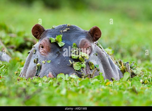 Hippopotamus emerging from weed covered pool Masai Mara Kenya - Stock-Bilder