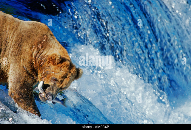 Brown bear (Ursus arctos) catching salmon which is jumping up a waterfall, Katmai N.P., Alaska - Stock Image