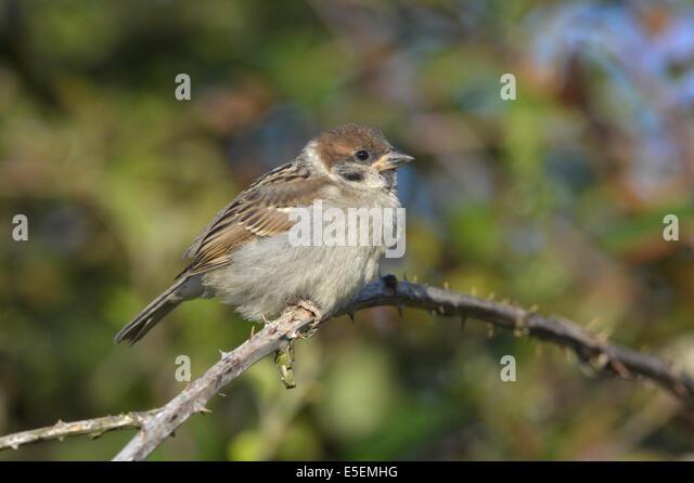 Tree Sparrow - Passer montanus - juvenile. - Stock Image