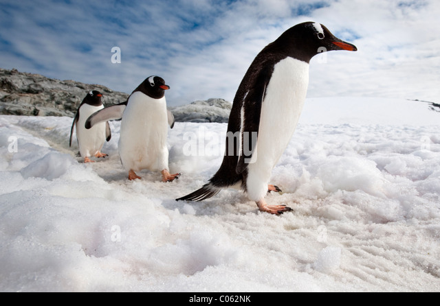 Gentoo Penguins, Peterman Island, Antarctic Peninsula, Antarctica. - Stock-Bilder