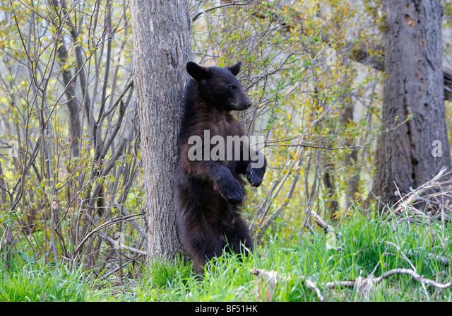 American Black Bear (Ursus americanus). Yearling rubbing its back on a tree. - Stock-Bilder