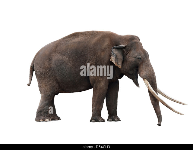 African Elephant On White Background - Stock-Bilder