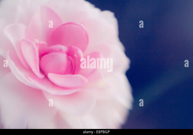 Close up of pink flower - Stock Image