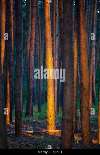 forest at sunset - Stock Image