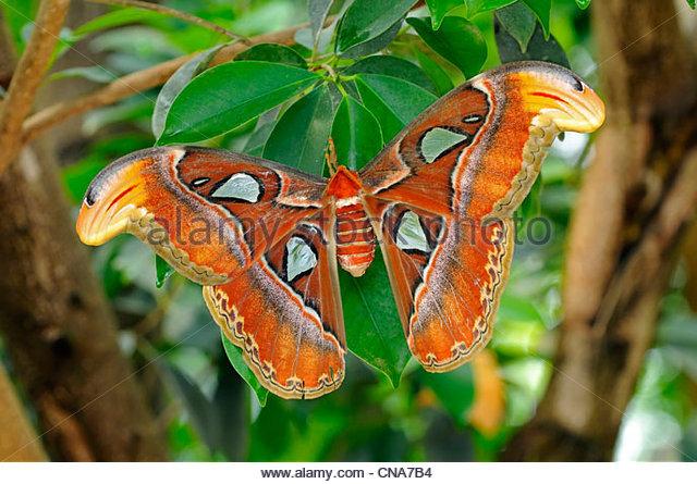 Atlas moth (Attacus atlas) - Stock-Bilder