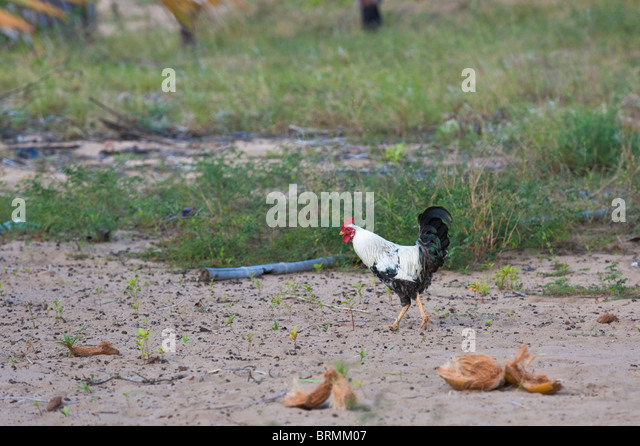 Rooster foraging on a beach - Stock Image