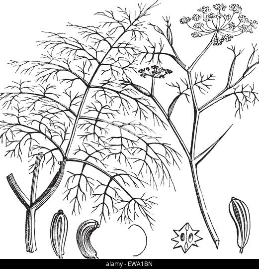 fennel vector stock photos  u0026 fennel vector stock images